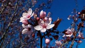 almond-trees-979518__180