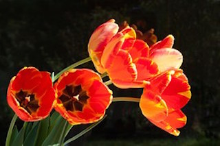 tulips-744054__180