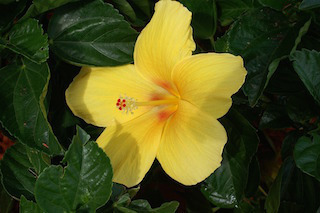 hibiscus-416203_960_720
