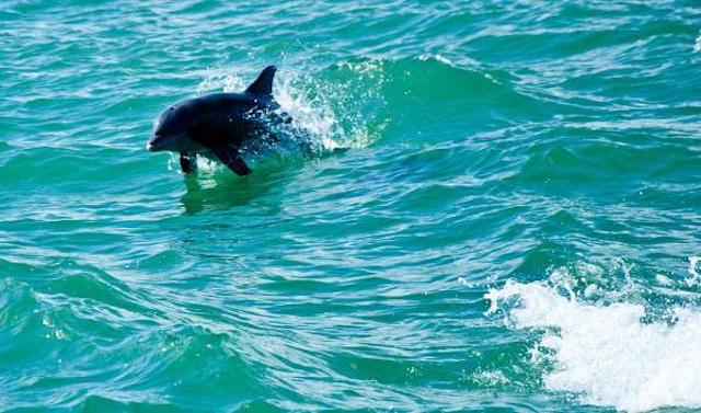 x1024px-dolphin_in_water_boca_raton-jpg-pagespeed-ic-amifmocjvg